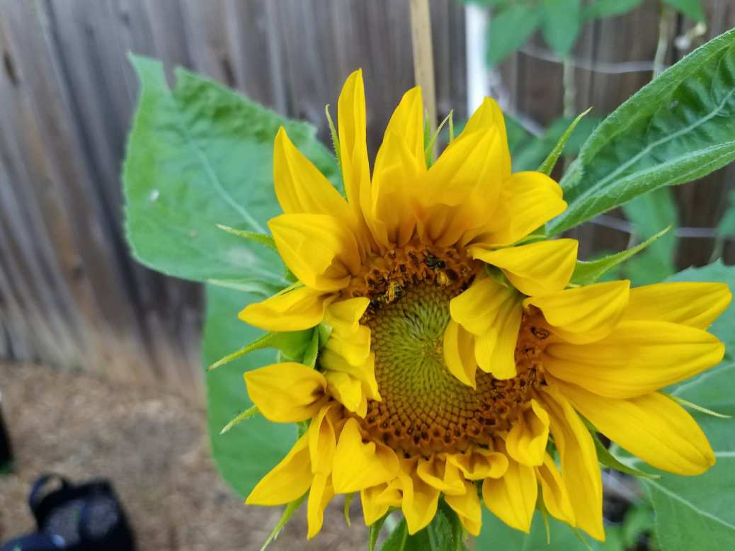 Sunflower with bees covered in pollen