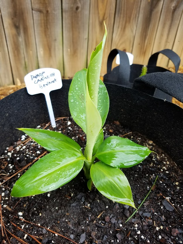 Dwarf Cavendish banana growing vigorously.