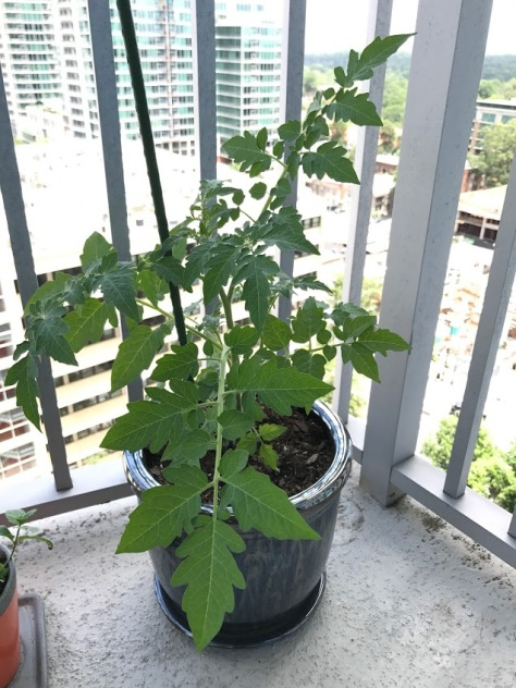 Tsungshigo Chinese tomato growing in a pot on a balcony.