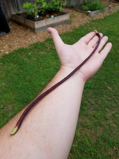 First Chinese red noodle bean at 14 inches long.