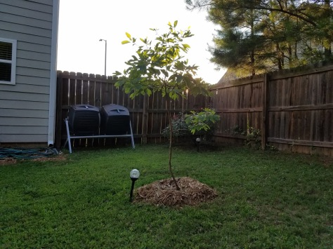 Patreece the sassafras tree with a solar LED light, composter tumblers in the background