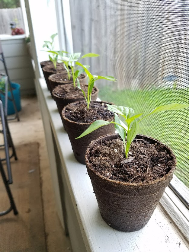 Poblano pepper seedlings in peat pots.