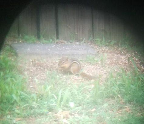 Ground squirrel or chipmunk at the bird feeder