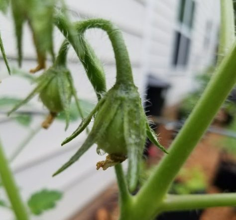 Small tomato fruits on the plant.