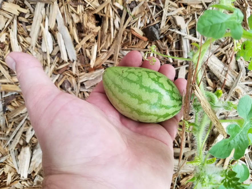 Watermelon held in hand, 4 fingers wide.